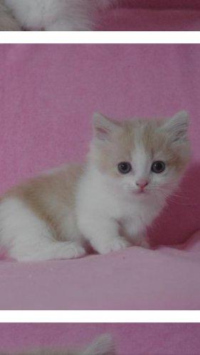 この画像の子猫は大人になったら、どんな感じになりますか?短足マンチカンです。