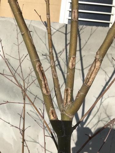 「最近家に紅葉を植えたのですが、木の幹に