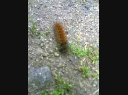 茶色い毛虫 毒毛虫 1週間程前から 庭で茶色い毛虫を見るようにな その他 住宅 住まい 教えて Goo