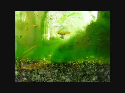 水槽に藻が大繁殖!何とか藻を駆...