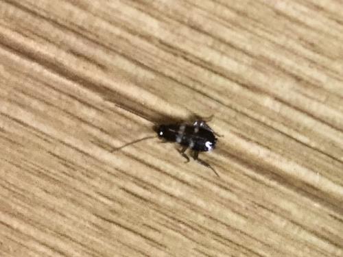 これってゴキブリの赤ちゃんですか?4か5mmでした?