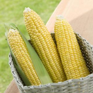 収穫すると糖度が日に日にダウン!とうもろこしの正しい保存法