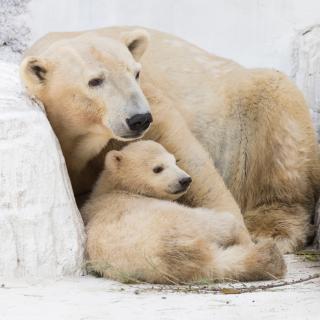北極グマは日本の夏をどう乗り切っているのか?