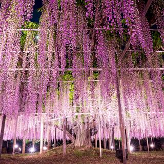 新潟県立植物園スタッフに聞いた!藤の木の脅威の生命力