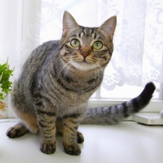 なぜ日本では尻尾が短い猫が多いのか?獣医師に聞いてみた!