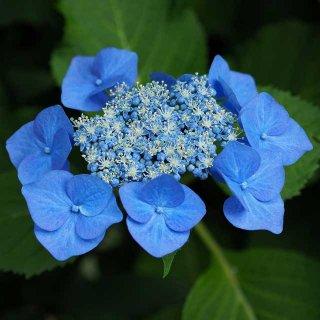 アジサイ――花と思っていた器官は花ではない!?専門家に話を聞いた