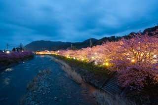 河津桜まつりは夜桜もオススメ!