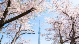 Japanese chic style cherry blossom viewing does not take place under cherry trees
