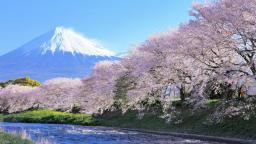 "Enjoy onsen (hot spring) and cherry blossom together! Japan's famous spots for ""Cherry blossom"""